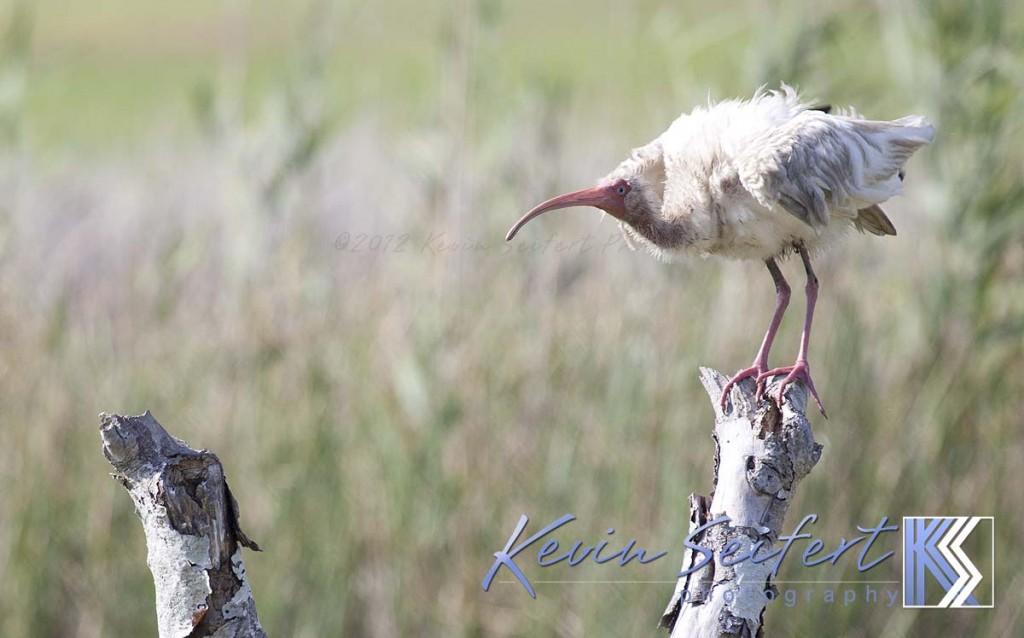 Ibis Migration NC Coast